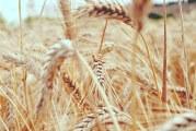 Tritordeum: el cereal sostenible  que arrasa en Holanda y España