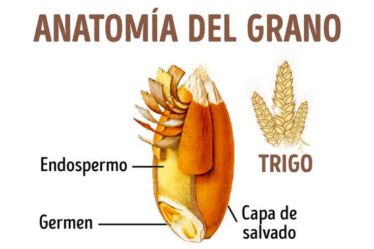 Estructura del grano: salvado, endospermo y germen