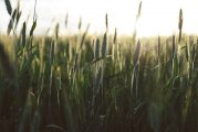 Europastry se compromete a utilizar trigos sostenibles