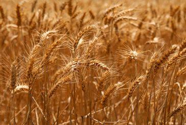 La Comisión Europea sitúa la producción de cereales en 2021 en los 288,7 millones de toneladas, un 3% más que la previa